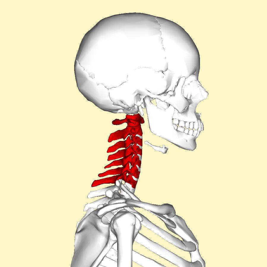 Human skeleton neck highlighted